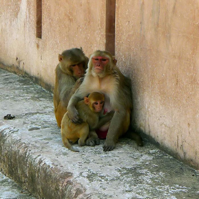 Affen beim Entlausen und Säugen / monkeys delousing and breastfeeding