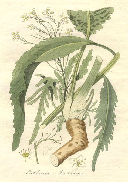 Krenbzw Armoracia rusticana (Quelle: Flora batava by Jan Kops and others, 1822)