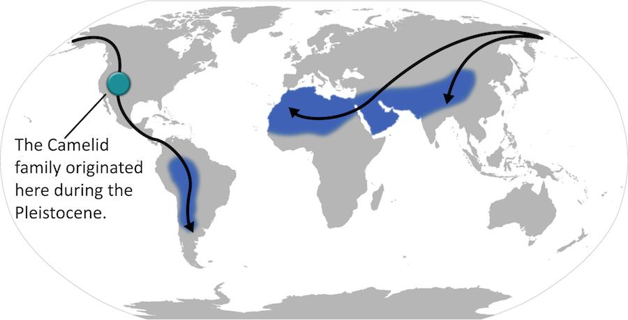 Urheimat der Schwielensohler in Nordamerika und ihre mutmaßlichen Wanderungen in ihre heutigen Verbreitungsgebiete (Wikimedia Commons)