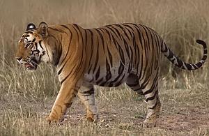 20140414_diary099_tiger1
