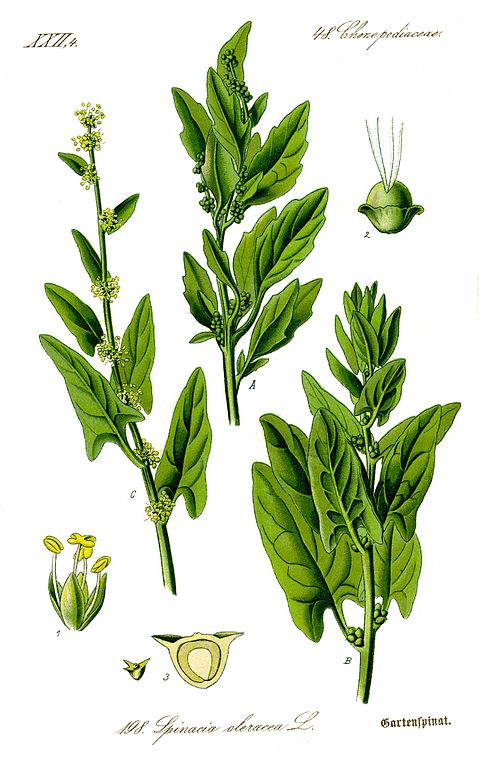 Gartenspinat / Spinacia oleracea (Wikipedia)