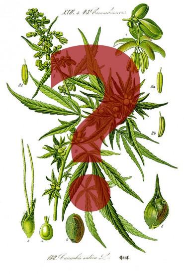 Cannabis sativa legal?(Wikimedia Commons)