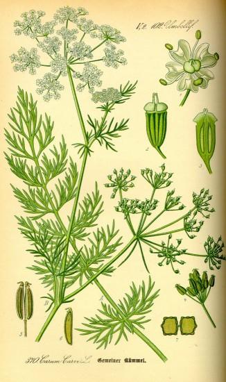 Gemeiner Kümmel (Wikimedia Commons)