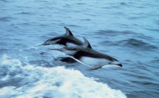 Weißstreifendelfine (Wikimedia Commons)