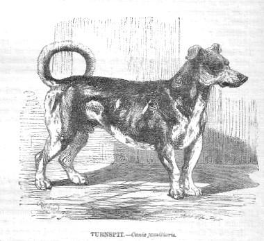 Turnspit Dog, 1862