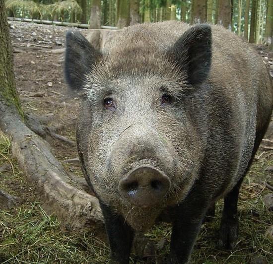 Ein nüchternes (?) Wildschein (Wikimedia Commons)