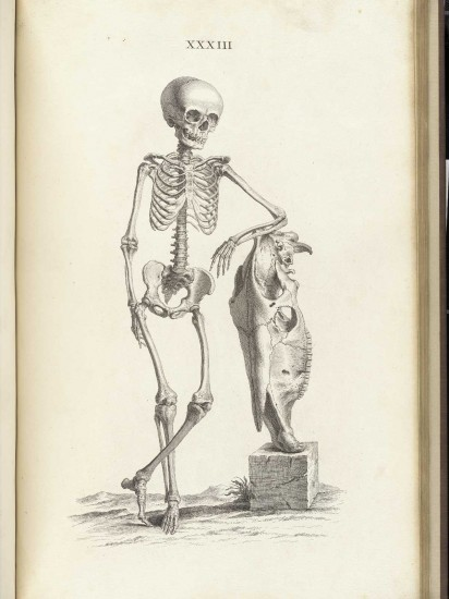 Skelett eines neunjährigen Burschens (William Cheselden: Osteographia / 1733)