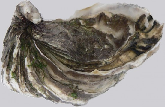 Crassostrea gigas (Wikimedia Commons)