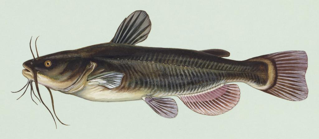 Schwarzer Zwergwels (Wikimedia Commons)