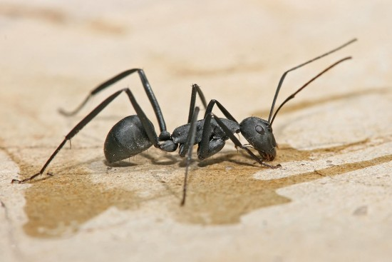 Camponotus fellah (Wikimedia Commons)