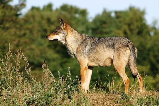 Grauwolf (Wikimedia Commons)