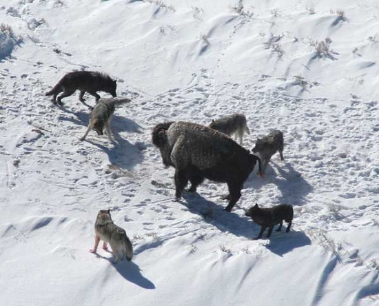Grauwölfe umzingeln ein Bison. Dieses erhöht seine Überlebenschancen indem es nicht flüchtet. (Wikimedia Commons)