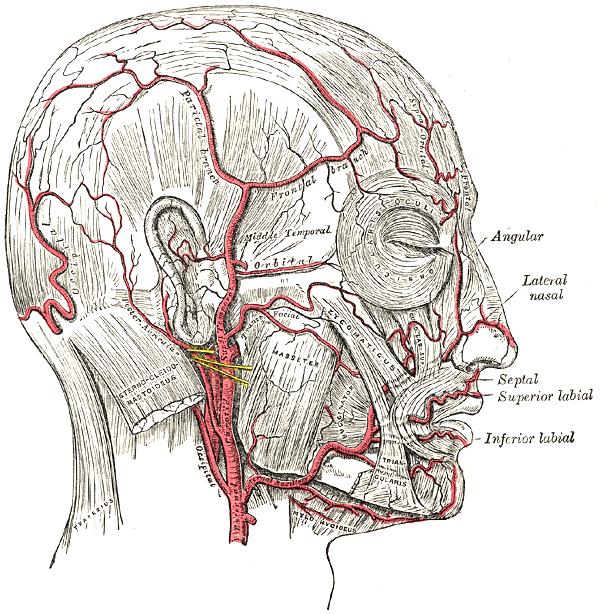 Gefäße im menschlichen Kopf (wikimedia commons)