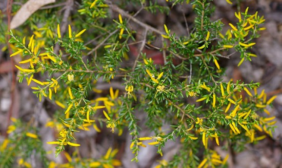 Persoonia terminalis (via farm8.staticflickr.com)