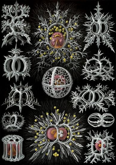 Strahlentierchen (Ernst Haeckel / wikimedia commons)