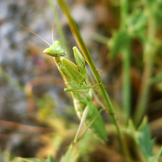 Gottesanbeterin / Mantis religiosa auf einem Halm sitzend bzw. beim Jagen