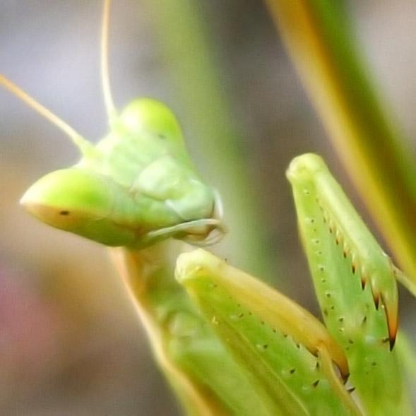 Grossaufnahme einer Gottesanbeterin / Mantis religiosa