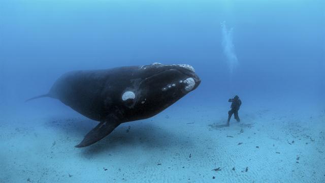 Grönlandwal und Mensch (via nationalgeographic.com)