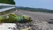 Tote Echse (Drache) am Straßenrand Indien