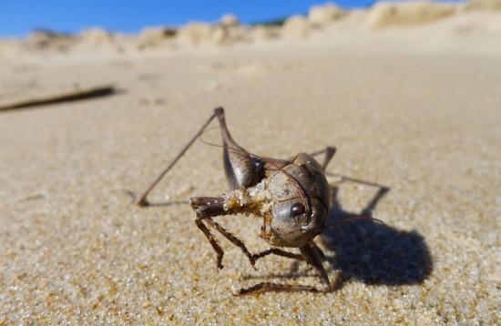 Toter Heuschreck in der Wüste / Spanien