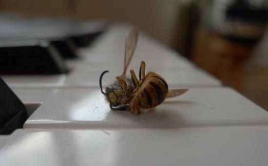 Tote Wespe am Klavier
