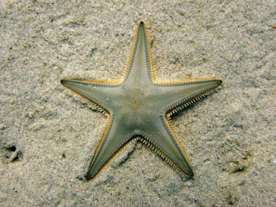 Auch Seesterne sind der Autotomie fähig (Bild: wikimedia commons)