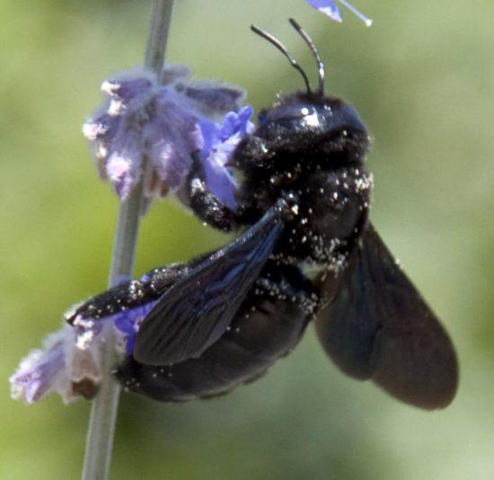 Die Darth-Vader-Biene in Aktion (via wikimedia.org)