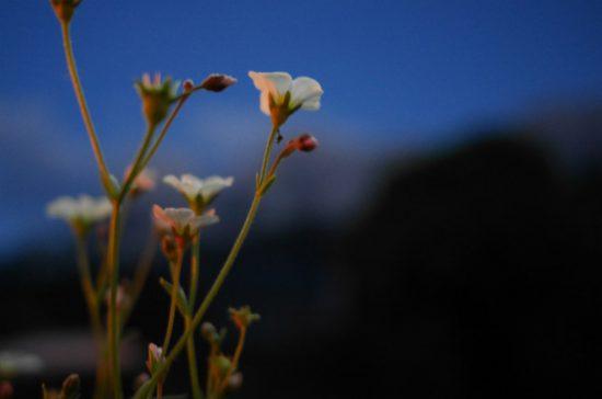 Blume versteckt Reichenstein