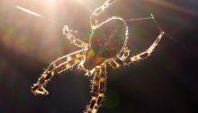 Kreuzspinne beim Netzbau