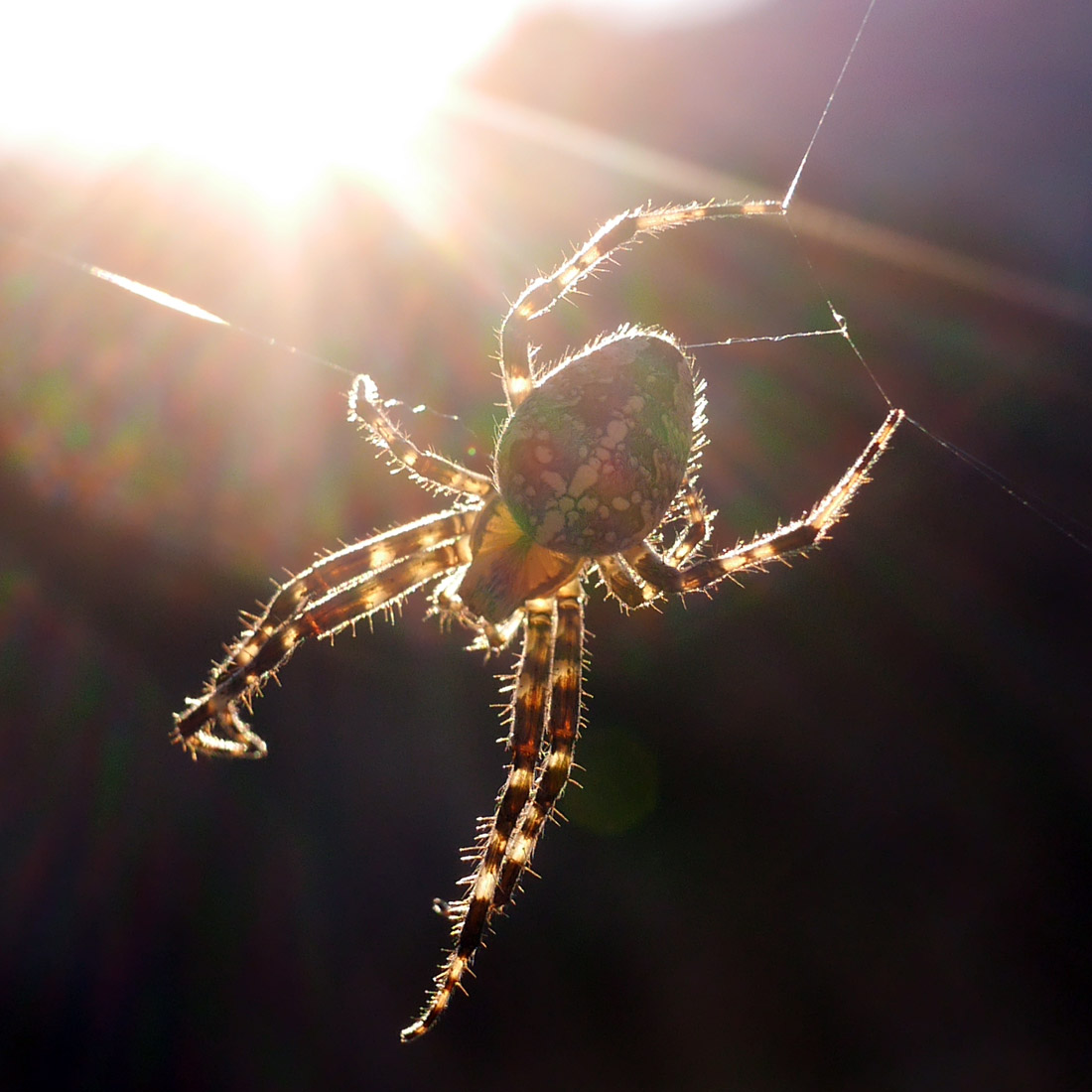 Spinnenwickel #2