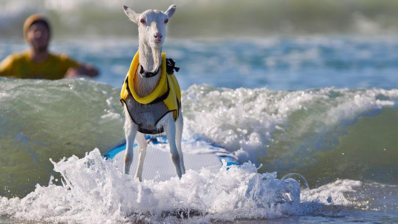 Big Wave Goat