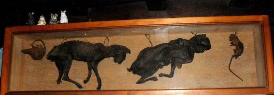 Mumifizierte Katzen aus dem 16. Jahrhundert (wikimedia commons)