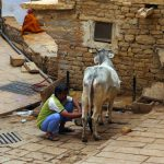 Fort Jaisalmer milk cow