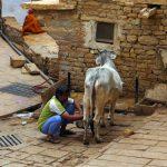 Fort Jaisalmer milk cow