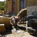 Schweine Jaisalmer baden