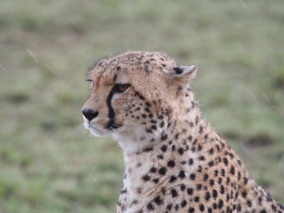 Afrikanisches Tagebuch #4 Masai Mara